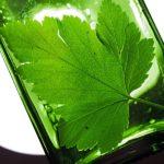 Настойка на зелёных листьях чёрной смородины: лучшие рецепты на самогоне, водке, спирте