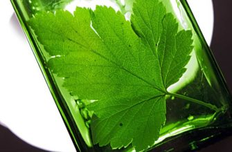 настойка на листьях черной смородины